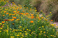 Wildflower meadow with California poppies (Eschscholzia californica) and Bird's Foot Trefoil (Lotus corniculatus) (non native), Crescent Farm, sustainable demonstation garden; Los Angeles County Arboretum and Botanic Garden