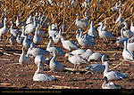 Snow Geese in the Farm Fields, Bosque del Apache Wildlife Refuge, New Mexico