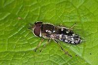 Späte Großstirnschwebfliege, Späte Großstirn-Schwebfliege, Weiße Dickkopf-Schwebfliege, Blasenköpfige Schwebfliege, Halbmondschwebfliege, Halbmond-Schwebfliege, Johannisbeer-Schwebfliege, Männchen, Scaeva pyrastri, cabbage aphid hover fly