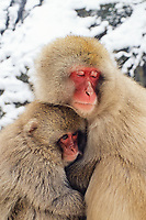 primate, Japanese macaque, Snow monkey, Macaca Fuscata, Mother and child. Jigokudani means Hell's valley hot spring, Ngano, Japan
