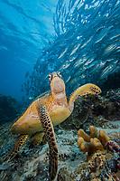 Green sea turtle, Chelonia mydas, and schooling bigeye jacks, Caranx sexfasciatus. Sipidan Island, Malaysia.