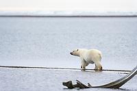 Polar bear on the beach by the Inupiat village of Kaktovik, Barter Island, Arctic, Alaska.