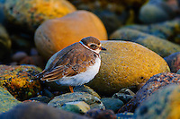 Semipalmated Plover (Charadrius semipalmatus) in winter plumage along Atlantic Ocean shore. Gros Morne National Park, Newfoundland. Canada.