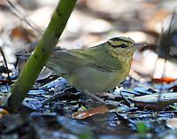 Worm-eating warbler enjoying bath in March