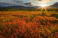 The morning sun rises over the Alaska Range mountains, lighting the crimson dwarf birch tundra, Denali National Park, Interior, Alaska.