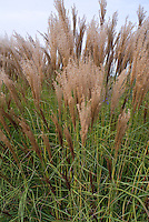 Miscanthus sinensis Undine ornamental grass in autumn fall