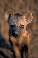 Spotted Hyena, Crocuta crocuta, young, Okavango Delta, Botswana, Africa