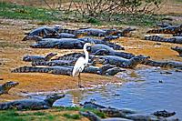 Animais Jacarés (Caiman crocodilus yacare)  no Parque Nacional do Pantanal Matogrossense. Mato Grosso. Foto de Juca Martins.