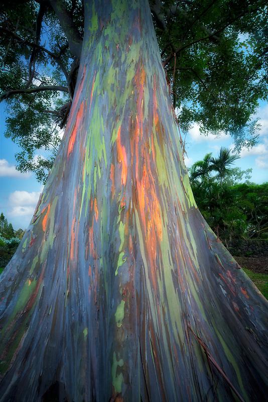 Looking up trunk of Rainbow Eucalyptus tree. Hawaii Island. The Big Island