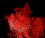 Leafy Scorpionfish, Rhinopia, Red Rhinopia, Anilao; Batangas; Philippines