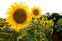 Photography of the Sunflower fields located within the Draper Tracts Wildlife Management Area in Brattonsville, SC.