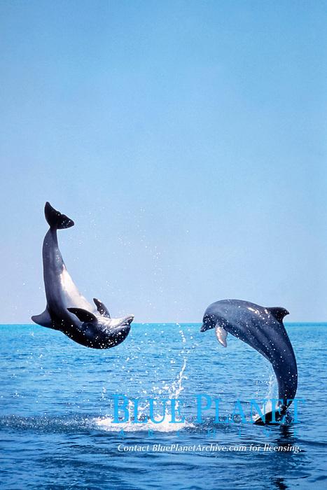 common bottlenose dolphins, Tursiops truncatus, jumping, Florida, USA, Atlantic Ocean (cr)