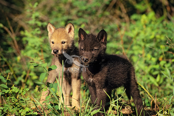 Gray wolf pups (Canis lupus).