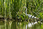 Damon, Texas; a great egret standing on the edge of the slough, fishing for food in afternoon sunlight