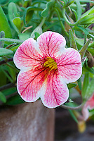 Calibrachoa 'Can Can Rose Star' pink and white annual flowers