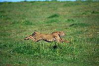 Cheetah (Acinonyx jubatus), running