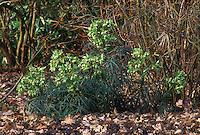Helleborus foetidus Stinking hellebore in green flowers in winter