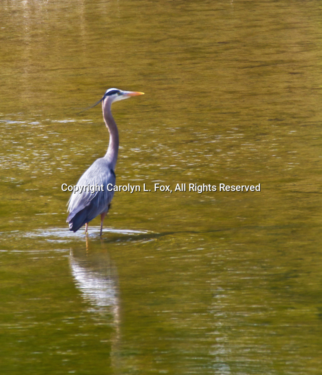 A Great Blue Heron stands in the water at a local lake.