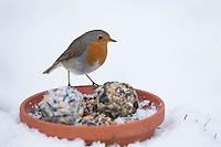 Rotkehlchen, selbstgemachtes Vogelfutter, Bodenfütterung mit Körnern, Meisenknödel, Fettfutter, Vogelfütterung, Fütterung, Winterfütterung, Winter, Schnee, Erithacus rubecula, robin, bird's feeding, snow, Le Rouge-gorge familier
