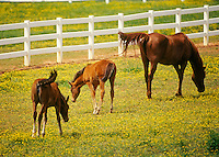 Arabian mare with two foals grazing in paddock of yellow wildflowers.