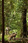 Canyon d'Ordesa,Isard. Pyrénées centrales. Parc national D'ordesa et du Mont Perdu. Patrimoine mondial de l'Unesco. Espagne.The Spanish Pyrenees. Spain.