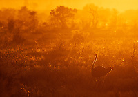 An ostrich marches at sunrise in Kruger National Park.