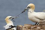 Tug of war between gannets over seaweed by Peter Lewis