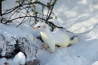 Ermine or short-tailed weasel (Mustela erminea). Northern U.S., Winter.