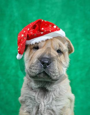 Xavier, ANIMALS, REALISTISCHE TIERE, ANIMALES REALISTICOS, dogs, photos+++++,SPCHDOGS902,#a#, EVERYDAY
