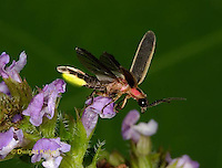 1C24-768p  Pyralis Firefly - Lightning Bug with glowing light - flying from flower - four wings - Male - Photinus spp.