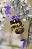 Carpenter Bee, Xylocopa virginica, feeding on Mealy sage (Salvia farinacea), Uvalde County, Hill Country, Texas, USA, April 2006