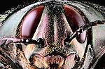 Euchroma gigantea - Isenct