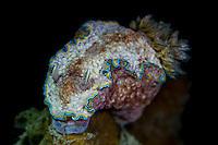 Glossodoris cincta nudibranch in Lembeh Strait / Indonesia