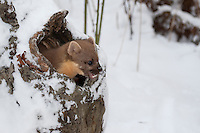 Baummarder, guckt im Winter bei Schnee aus einer Baumhöhle heraus, Baum-Marder, Edelmarder, Edel-Marder, Marder, Martes martes, European pine marten