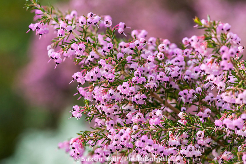 Erica canaliculata, Hairy Grey Heather  or Channelled Heath; winter blooming flowering shrub San Francisco Botanical Garden