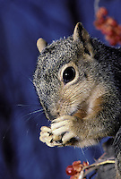 Close up of squirrel eating a nut
