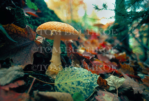 Wild mushroom - Amanita muscaria, in the Upper Peninsula of Michigan.