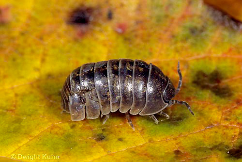 1Y33-041z  Pill Bug - uncurled