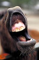 Close up of donkey teeth smiling, donkeys; NR.