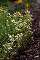 Bahia ambrosioides (syn. Achyropappus maritimus; Eriophyllum ambrosiodes), Chamiza or Manzanilla cimarrona flowering Chilean perennial in Fullerton Arboretum, Southern California