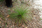 A long leaf pine seedling stays in the grass stage for several years while it sends a tap root into the ground.