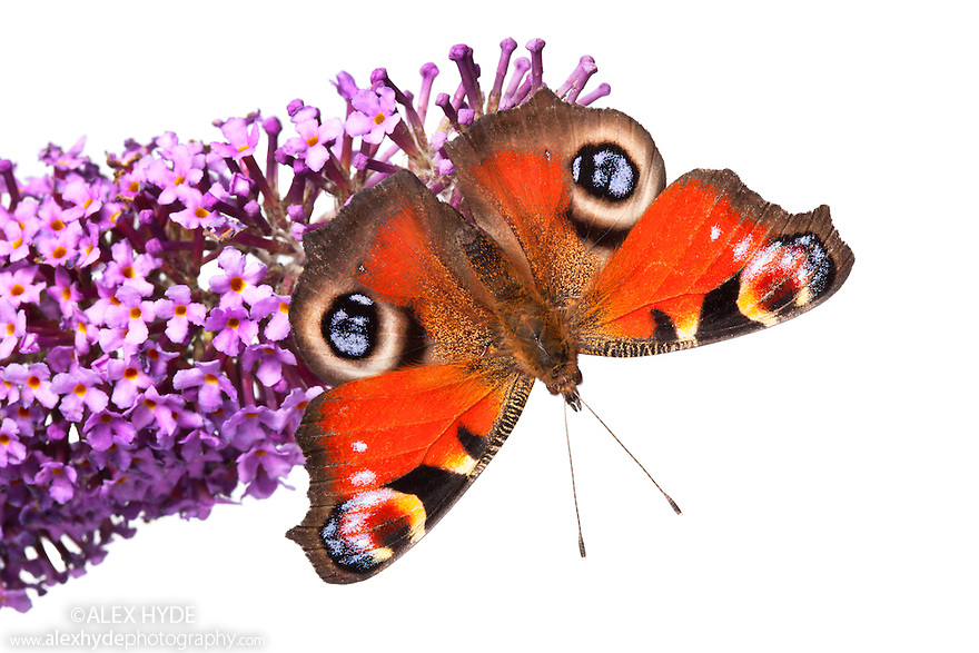 Peacock butterfly {Inachis io} feeding on buddleia flowers {Buddleia davidii}, on a white background. Peak District National Park, Derbyshire, UK. September