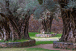 Five hundred year old olive trees (Olea europaea), Tzintzuntzán, Michoacán, Mexico<br />