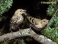 SW04-003z  Pine Siskin - Pine Finch - Carduelis pinus