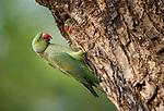 Adult ring-necked or rose-ringed parakeet (Psittacula krameri) with chick on the edge of nest hole. Satpura National Psrk, Madhya Pradesh, India