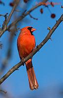 1J06-501z  Northern Cardinal male in winter, Cardinalis cardinalis