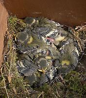 Blaumeise, Küken im Nest, Jungvögel, Jungvogel, Nistkasten, Blau-Meise, Meise, Cyanistes caeruleus, Parus caeruleus, Blue Tit, Mésange bleue