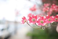 Dogwood blooms in Spring in Charlottesville, VA.
