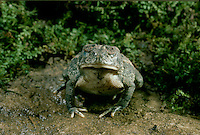 American Toad, Bufo Americanus, stands grounded resting with eyes closed