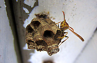 A wasp sits on its nest on a gate in Holly Hill, FL.   (Photo by Brian Cleary/www.bcpix.com)